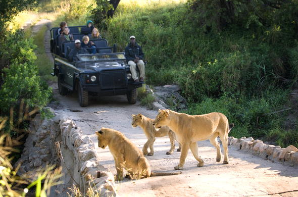 Guests view lion on a bridge crossing in Lion Sands Reserve.